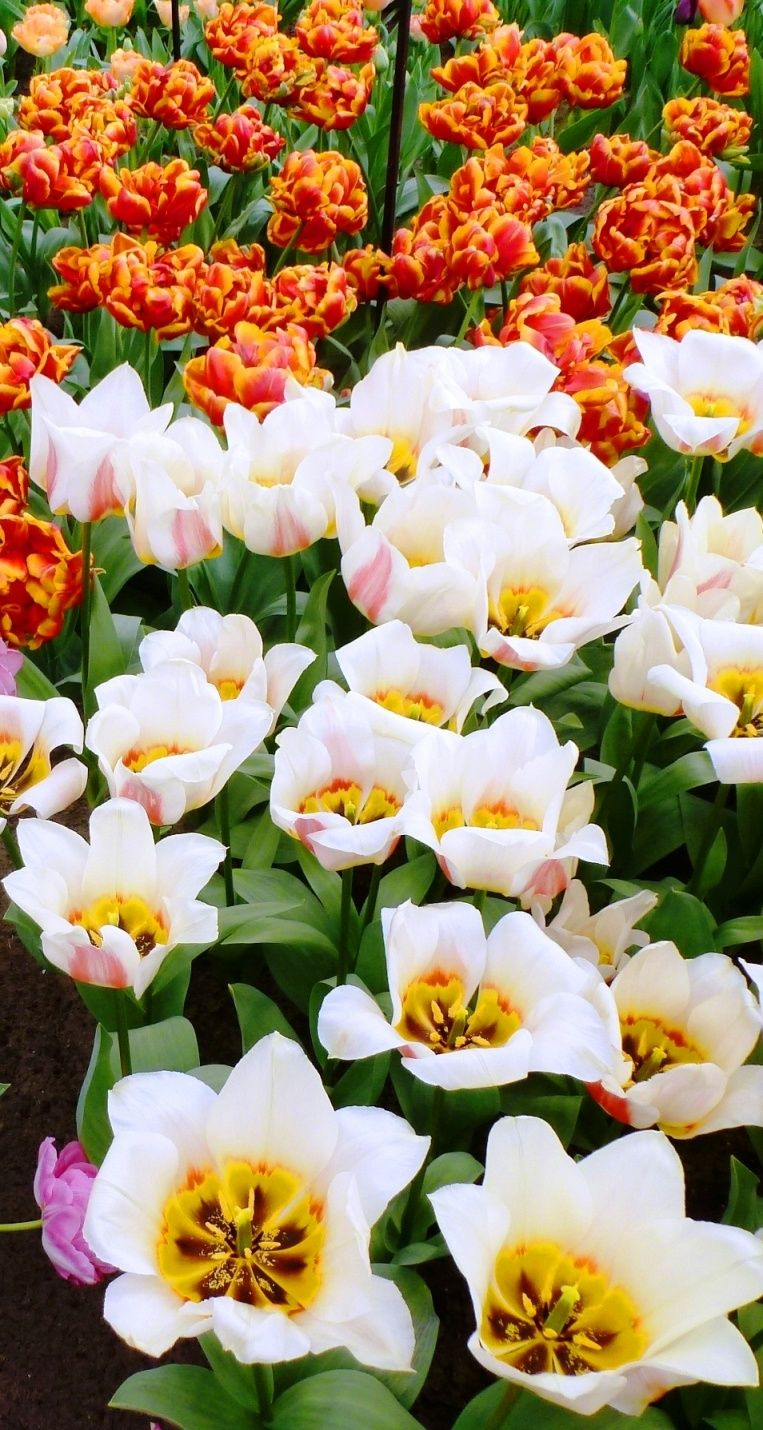 Tulip Fever at the Keukenhof Gardens Tulips, Most