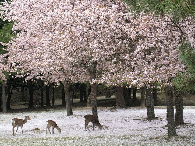 Cherry Blossom Winter Cherry Blossom Cherry Blossom Japan Blossom