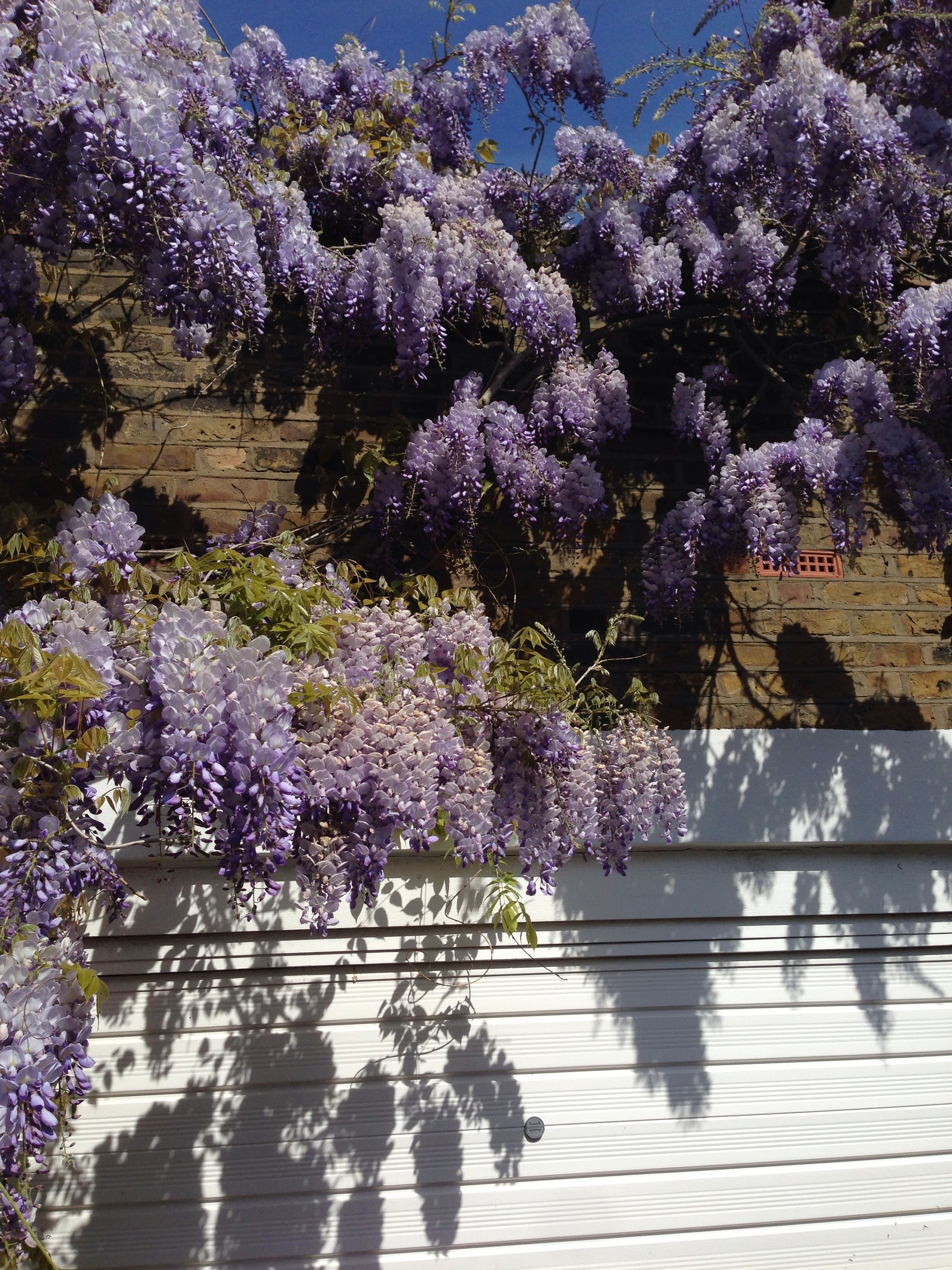 Wisteria on our Victorian garage