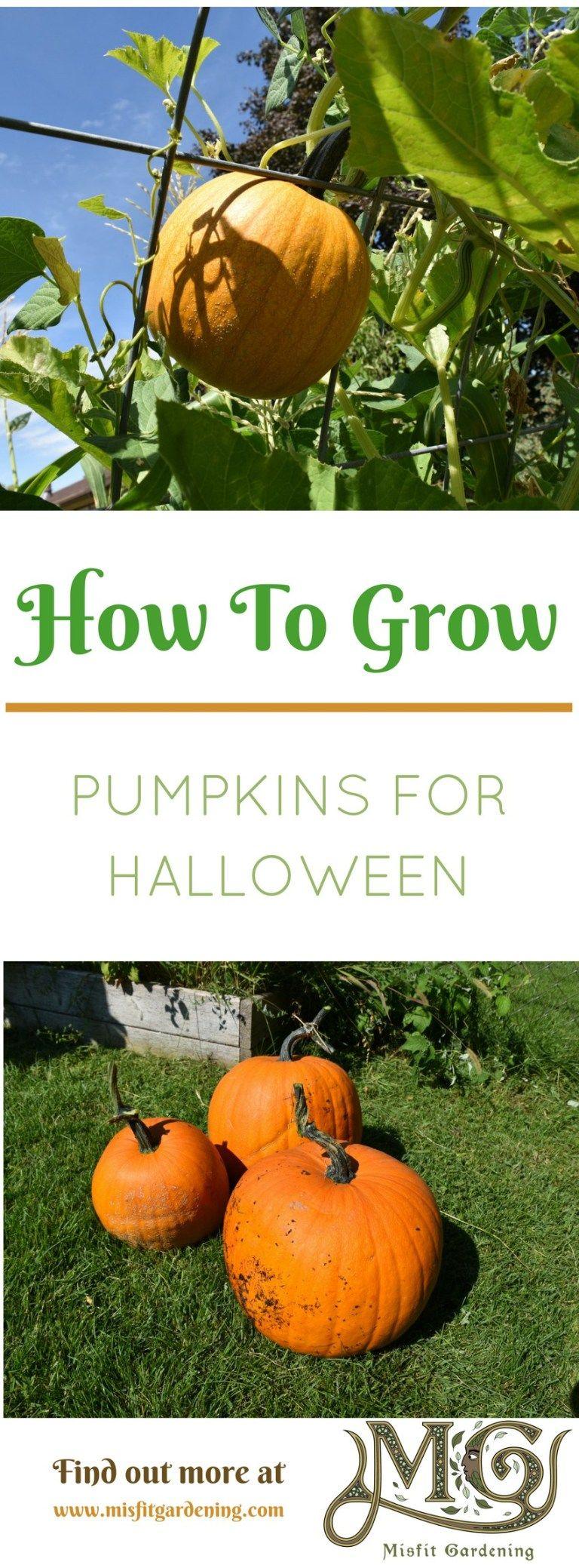 How To Grow Pumpkins For Halloween - Misfit Gardening