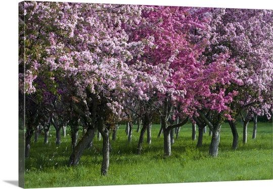 Ontario Ottawa Grove Of Cherry Trees With Variations In Blossom Color Cherry Tree Tree Red Oak Tree