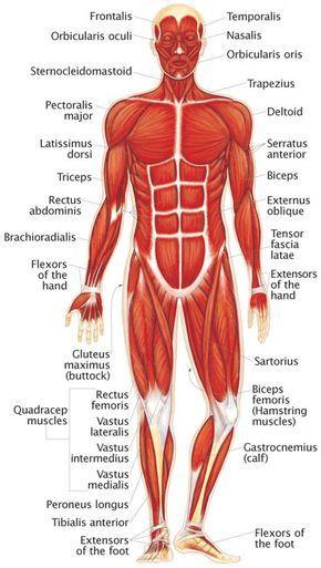 The human muscular system | School | Pinterest