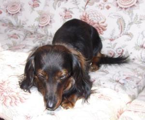 Oscar Is An Adoptable Dachshund Dog In Kewanee Il Hello I M