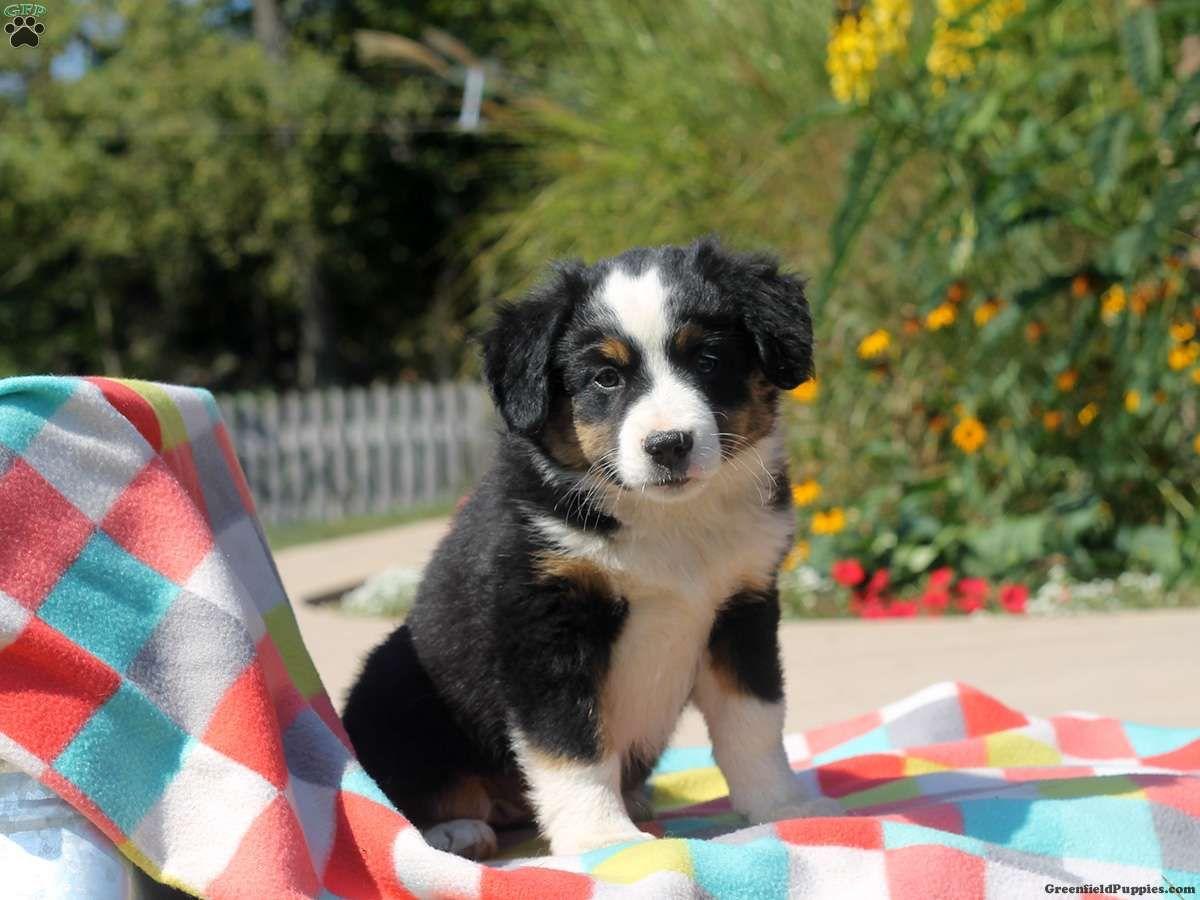 Lady Australian ShepherdMiniature Puppy For Sale in