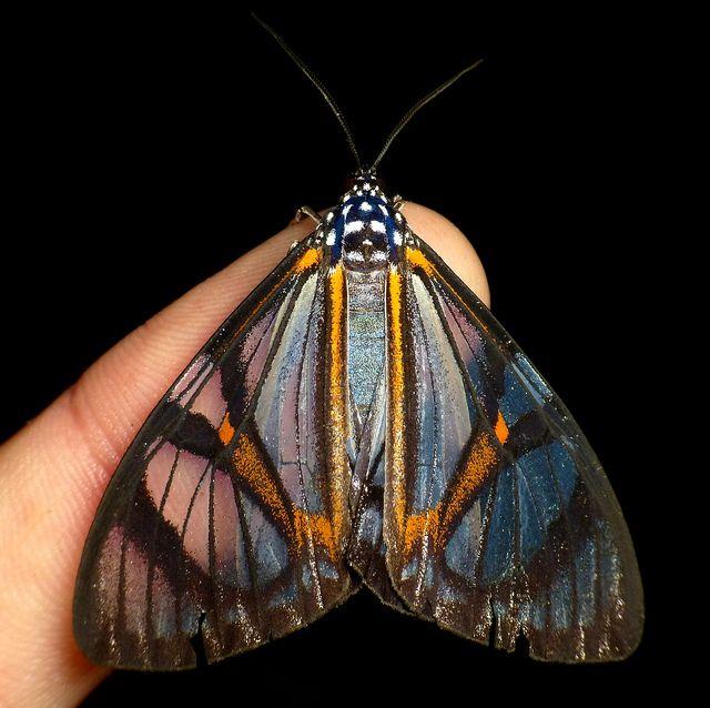 Tiger Moth Hypocrita Toulgoetae Nachtfalter Insekten Schmetterling