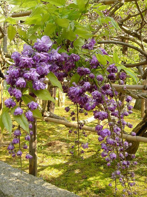 double flowered wisteria