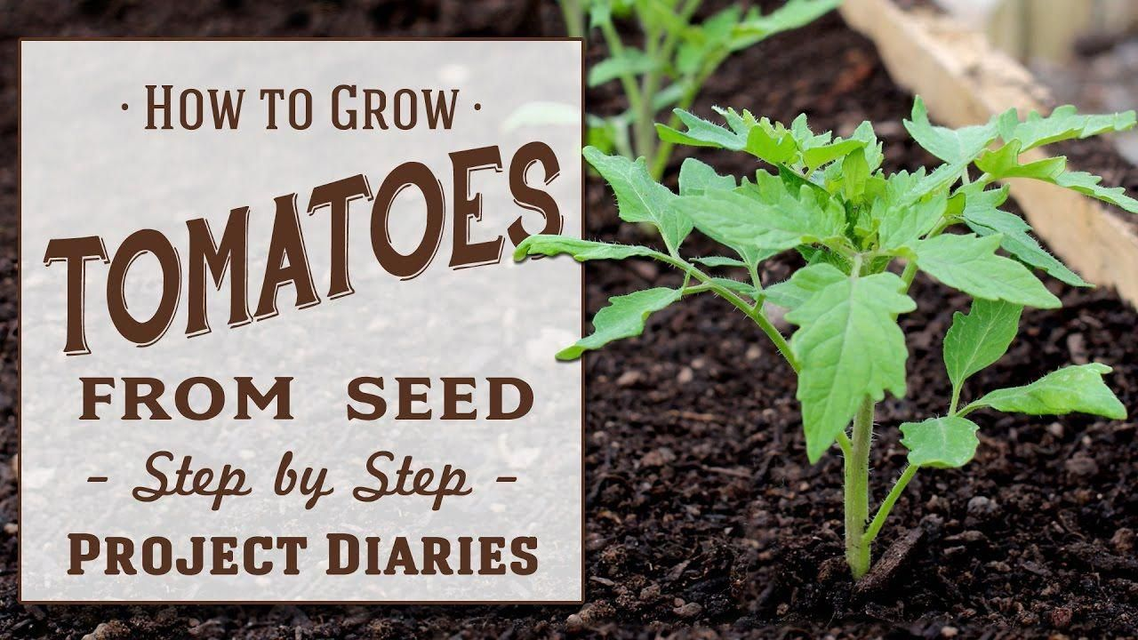 How to grow tomatoes from seed a complete step by step