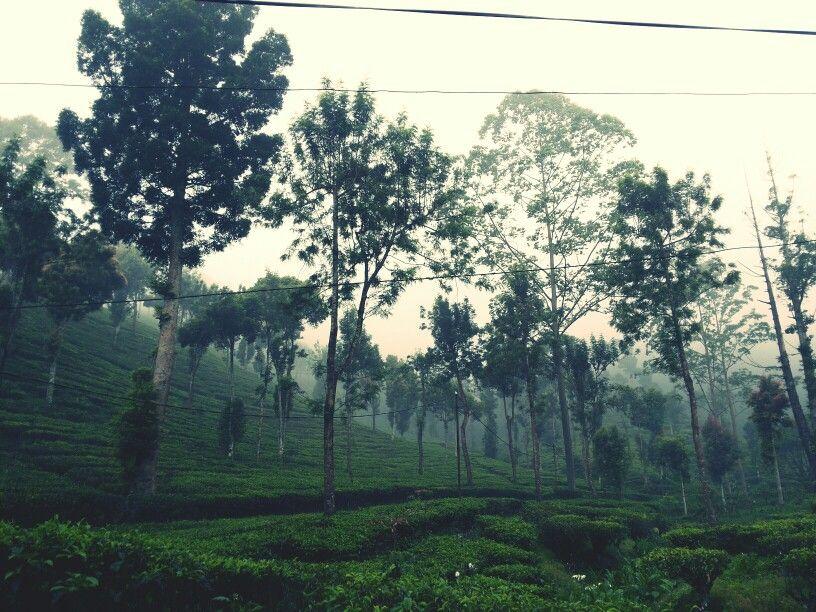 Tea walk Kebun Teh Gunung Mas, Puncak, Bogor Indonesia