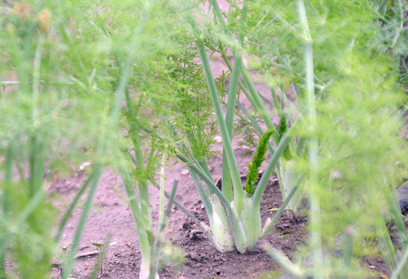 9 Tips For Growing Great Fennel Growing Vegetables 400 x 300