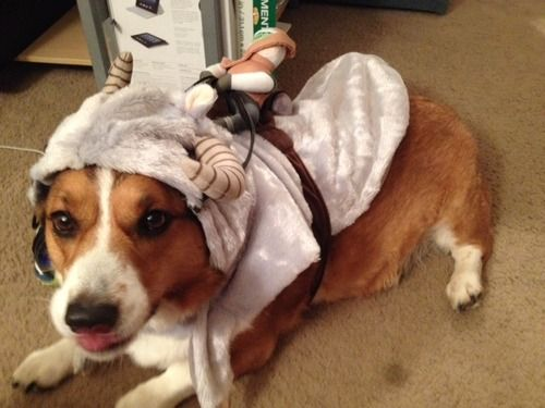 Boomer telling me what he thinks of his new Taun-taun costume