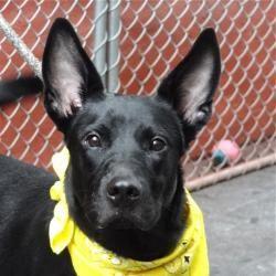 JAY is an adoptable German Shepherd Dog Dog in New York