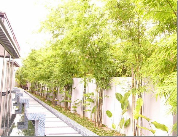 bamboo landscaping ideas grden privacy wall bamboo trees garden path ...