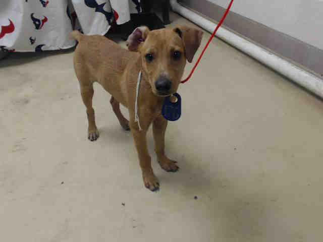Lil Homie Id A467913 Urgent Harris County Animal Shelter In Houston Texas Animal Shelter Animals Humane Society