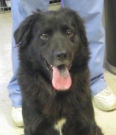 Adopt Mason On Dogs Pet Adoption Chow Chow Mix
