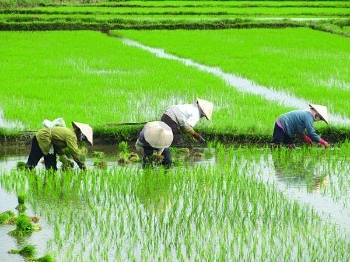 Vietnamese Ladys Planting Rice On A Rice Paddy Field In Vietnam Rice Paddy Fields Photography Vietnam Art