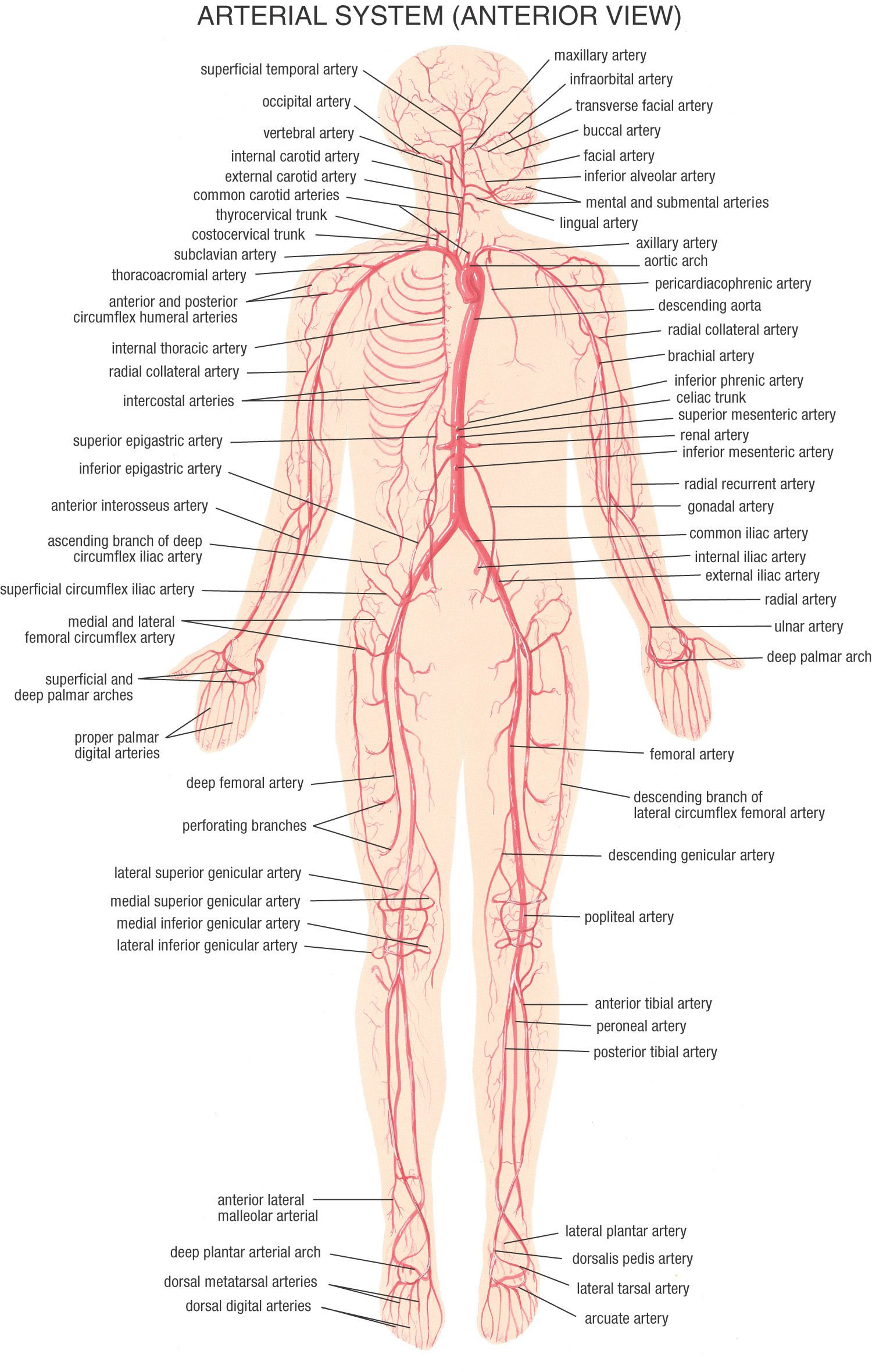 Image result for circulatory system arteries | school | Pinterest ...