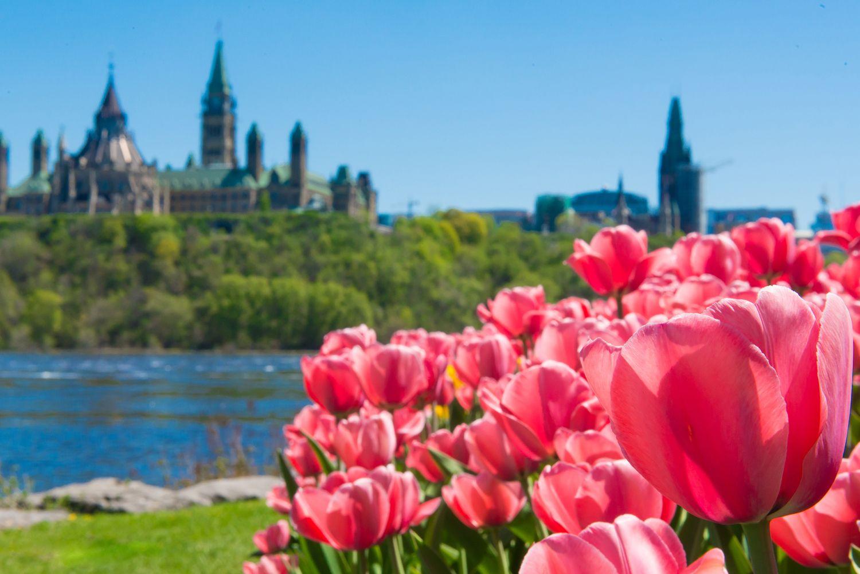 Ottawa In Full Bloom The Canadian Tulip Festival Tulip Festival Tulips Flowers Canada