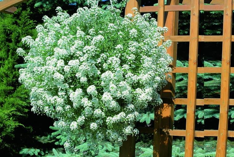 Smagliczka Snow Princess W Wiszacym Pojemniku Rozrasta Sie W Piekna Kwiatowa Kule Roztacza Miodowy Aromat Outdoor Structures Plants Outdoor