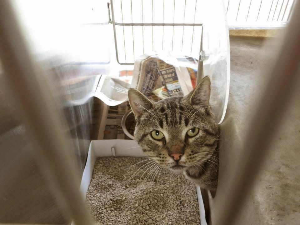 Downey CA urgent handsome young male Tabby (With images