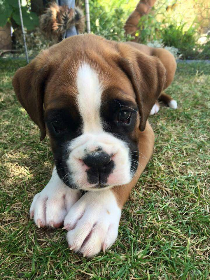 11.07.15 almost 7 weeks old Boxer puppy, Boxer love, Puppies