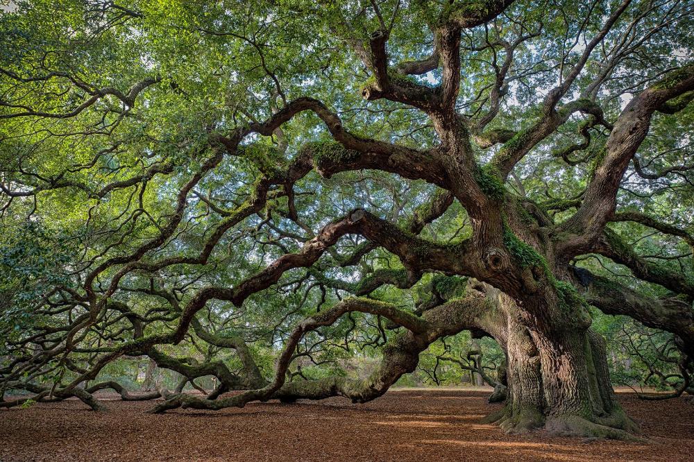 Iconic Trees Around The World Oak Tree Tattoo Live Oak Trees Angel Oak