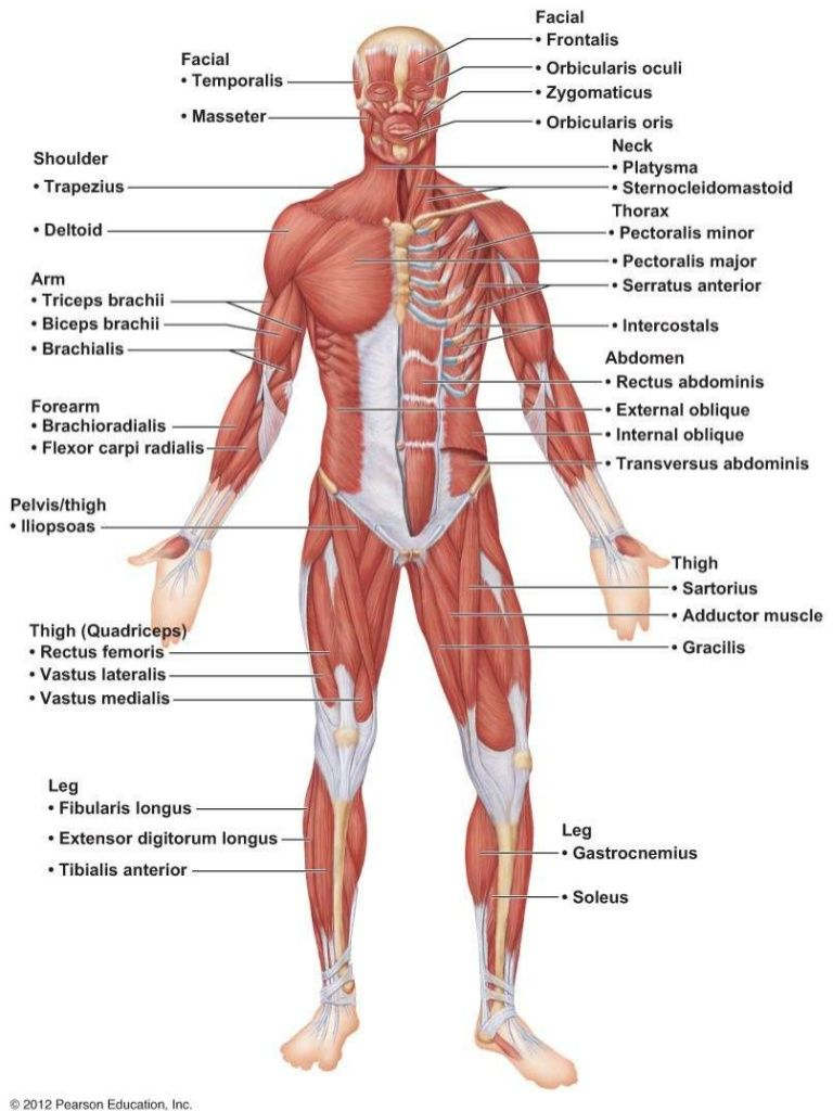 Major Anterior Muscles Anatomy Human Muscle Anatomy Human Bones Anatomy Body Muscle Anatomy