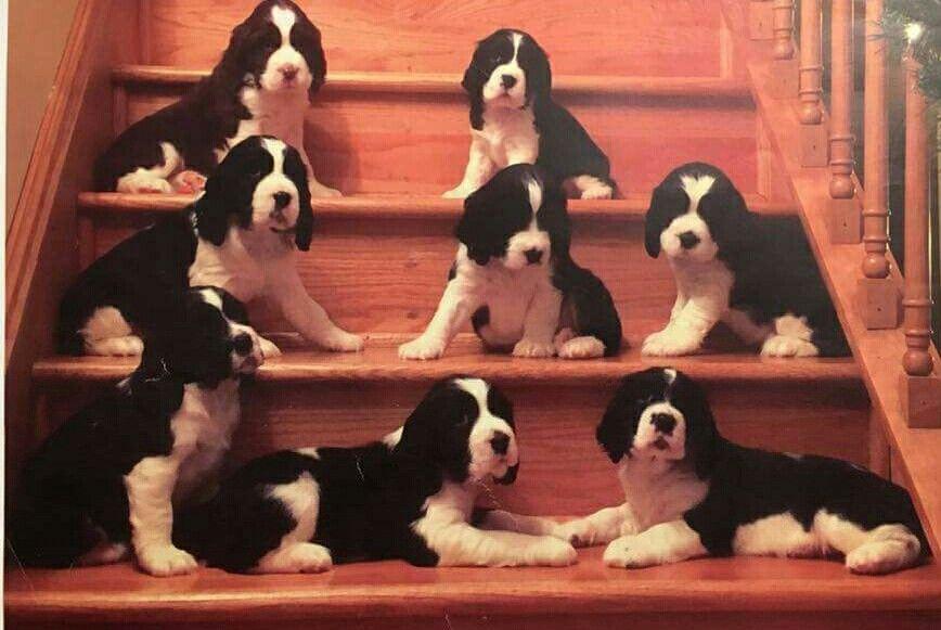 Stairs Full Of Springers Springer Puppies Springer Spaniel