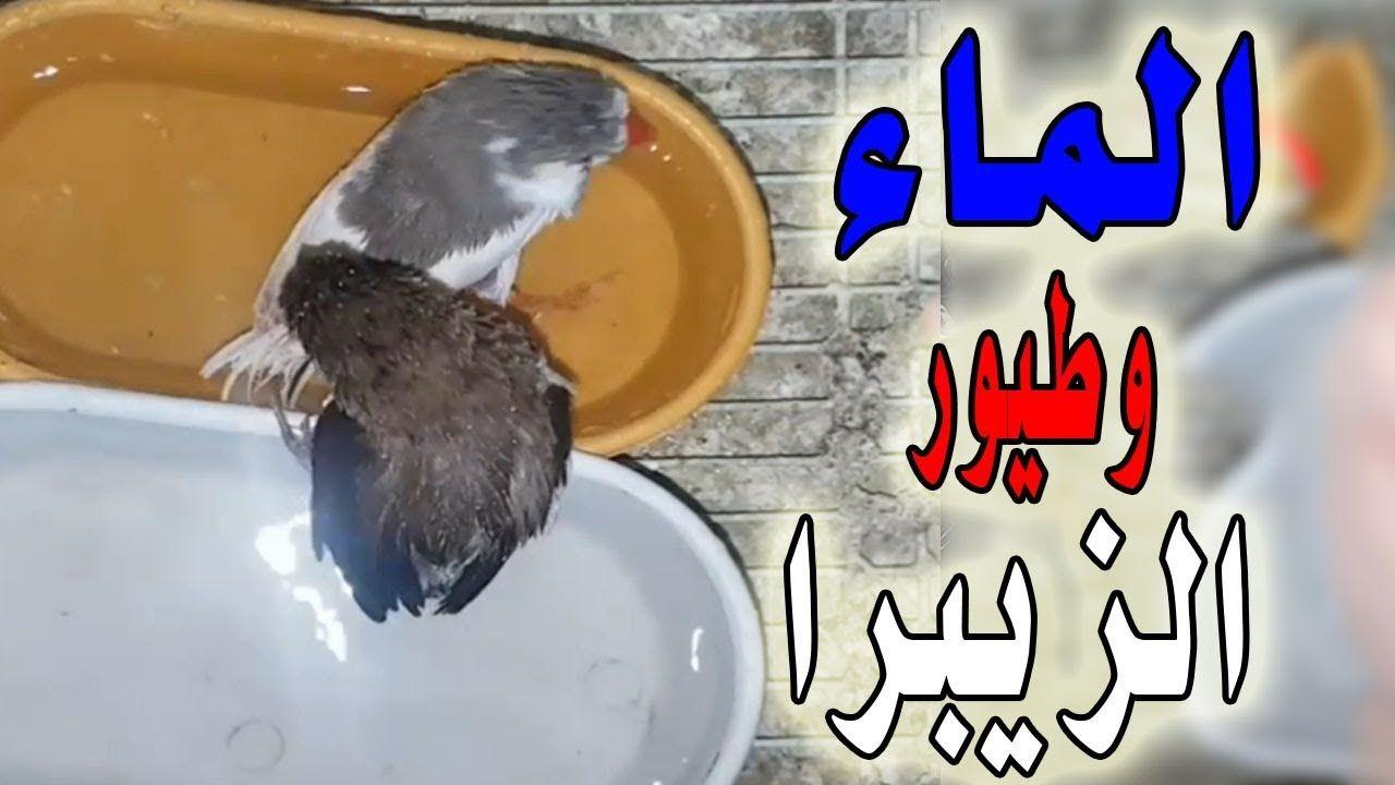 هل تستحم طيور الزيبرا مثل البادجي والكناري Hamster Birds Animals