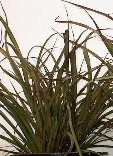 Phormium Tom Thumb Outdoor Landscaping Plants Plant List