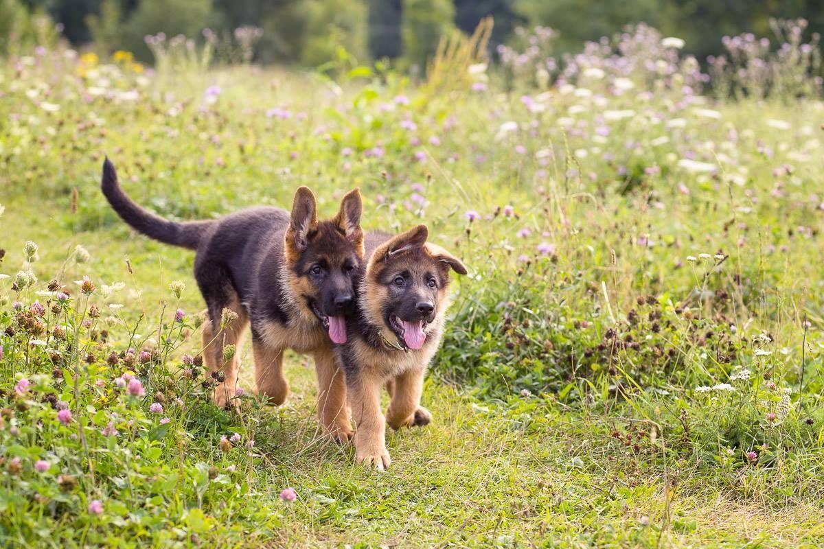 German Shepherd Puppies I Miss My Two German Shepherds German