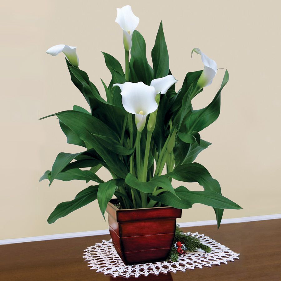 Elegant white calla lily in gift planter long lived and very easy elegant white calla lily in gift planter long lived and very easy to grow izmirmasajfo Image collections