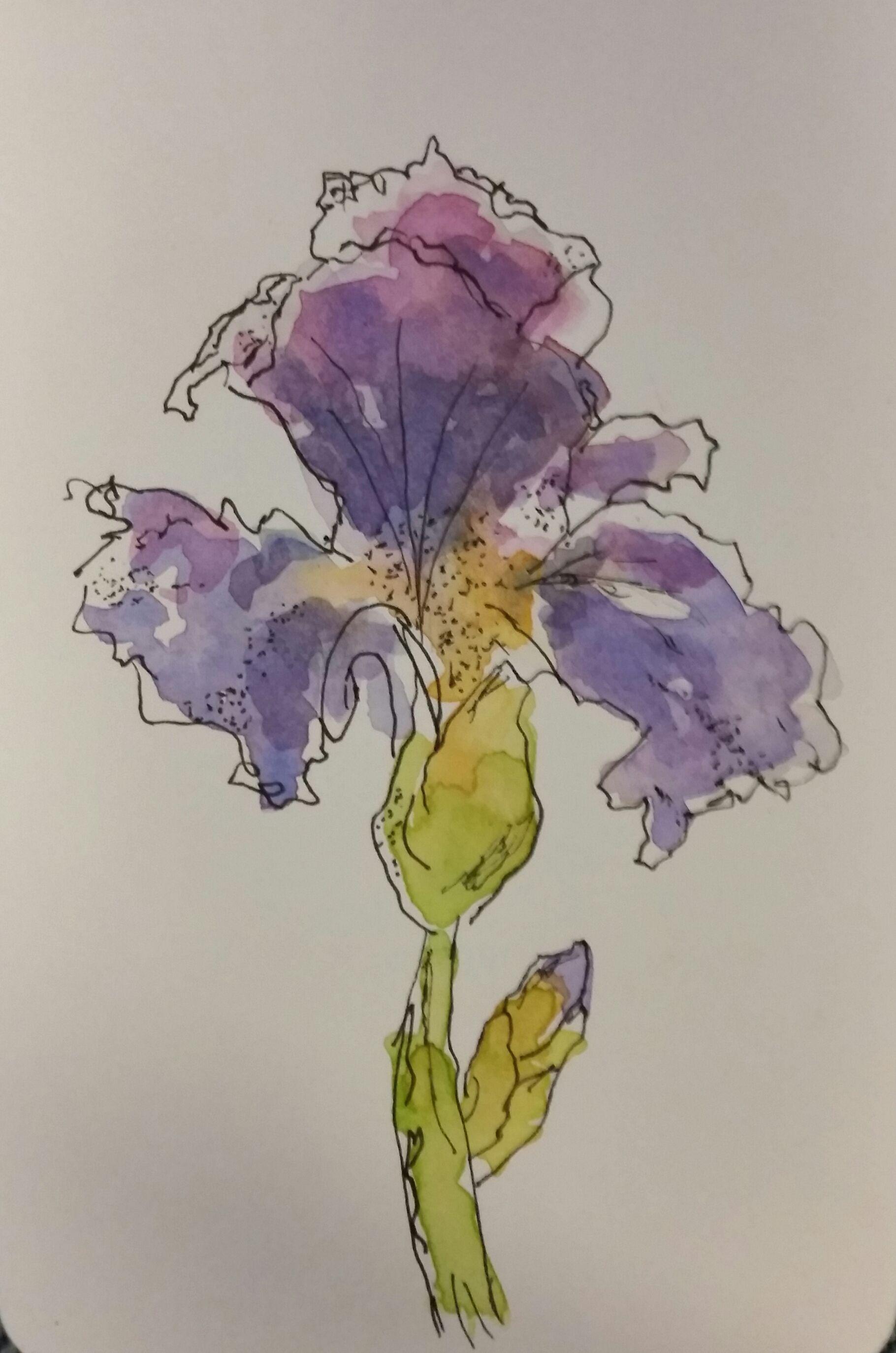 Purple Iris Watercolor And Pen Iris Drawing Watercolor Pen And Watercolor