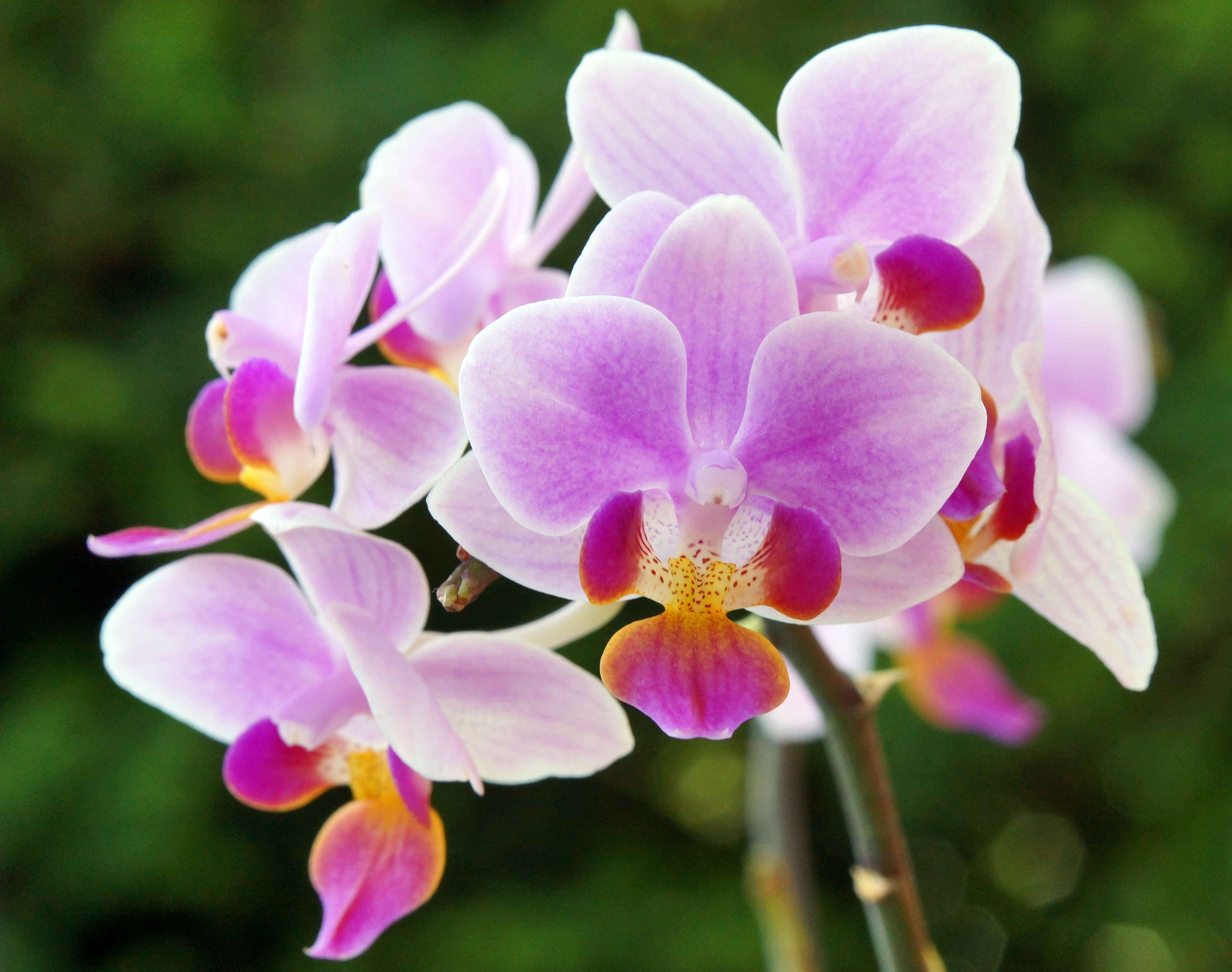 Phalaenopsis Hybride NOID