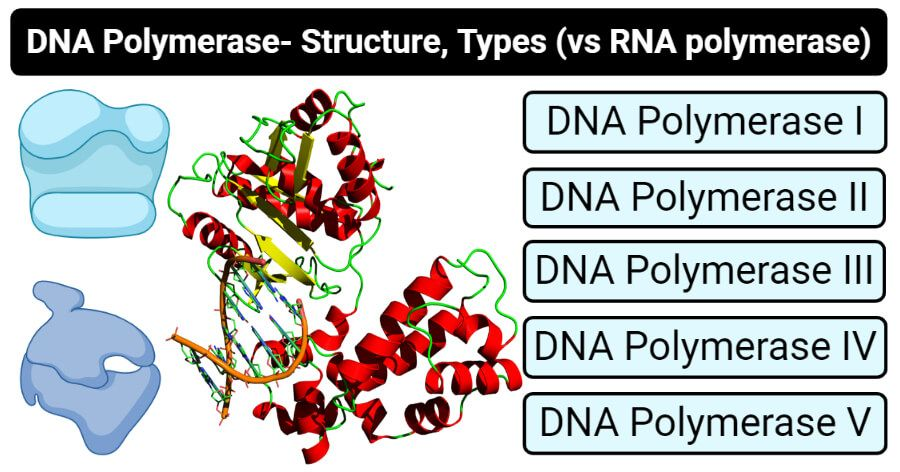 Dna Polymerase Definition Structure Types Vs Rna Polymerase Dna Polymerase Rna Polymerase Dna Molecule