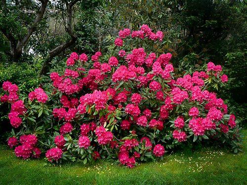 Red Rhododendron Nova Zembla Rhododendron Nova Zembla Plants