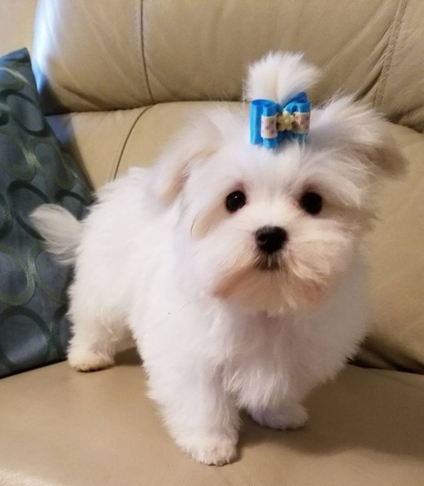 Maltese By Stone Ridge Has Maltese Puppies For Sale In Mercer Pa