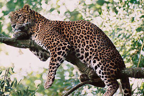 Luipaard - Etosha NP (Publiekstrekkers) - Namibië - Droomplekken