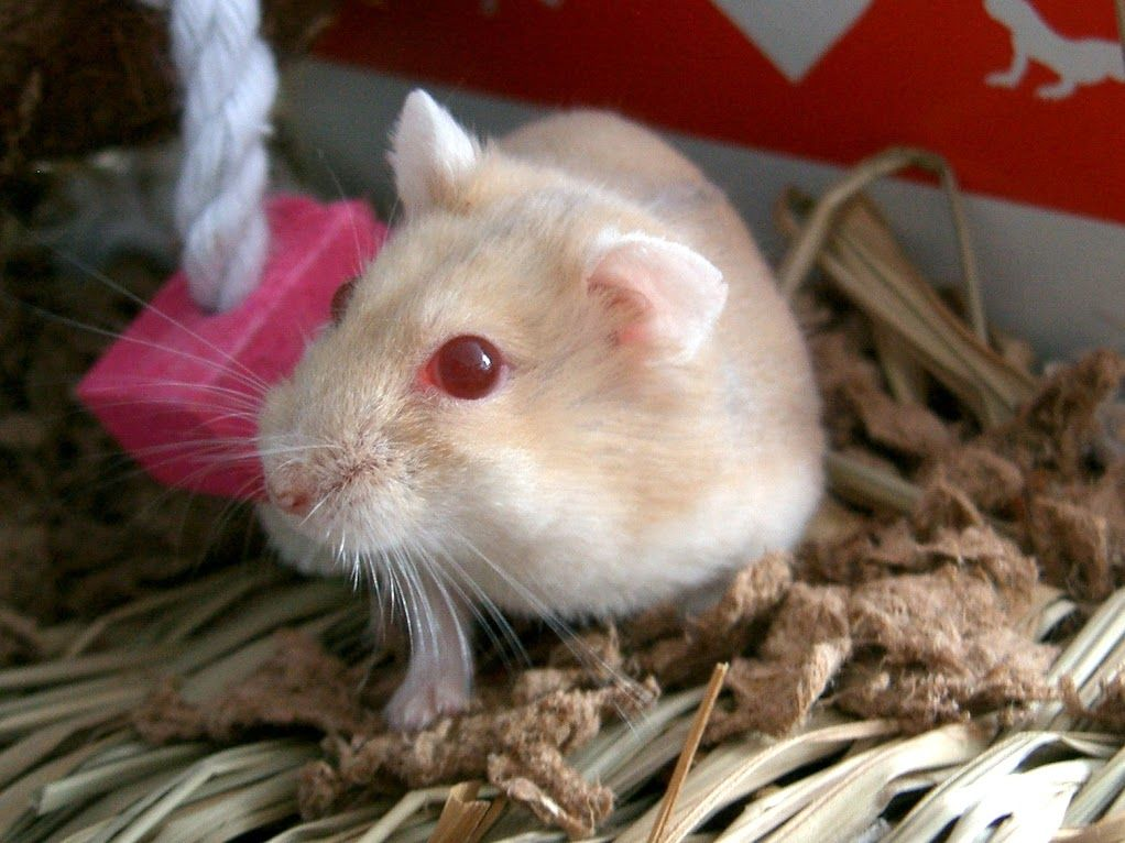 This Sunfire Hamster Is Adorable Not Sure About The Red Eyes
