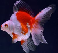 Orange And White Ryukin Ryukin Goldfish Goldfish Beautiful Fish