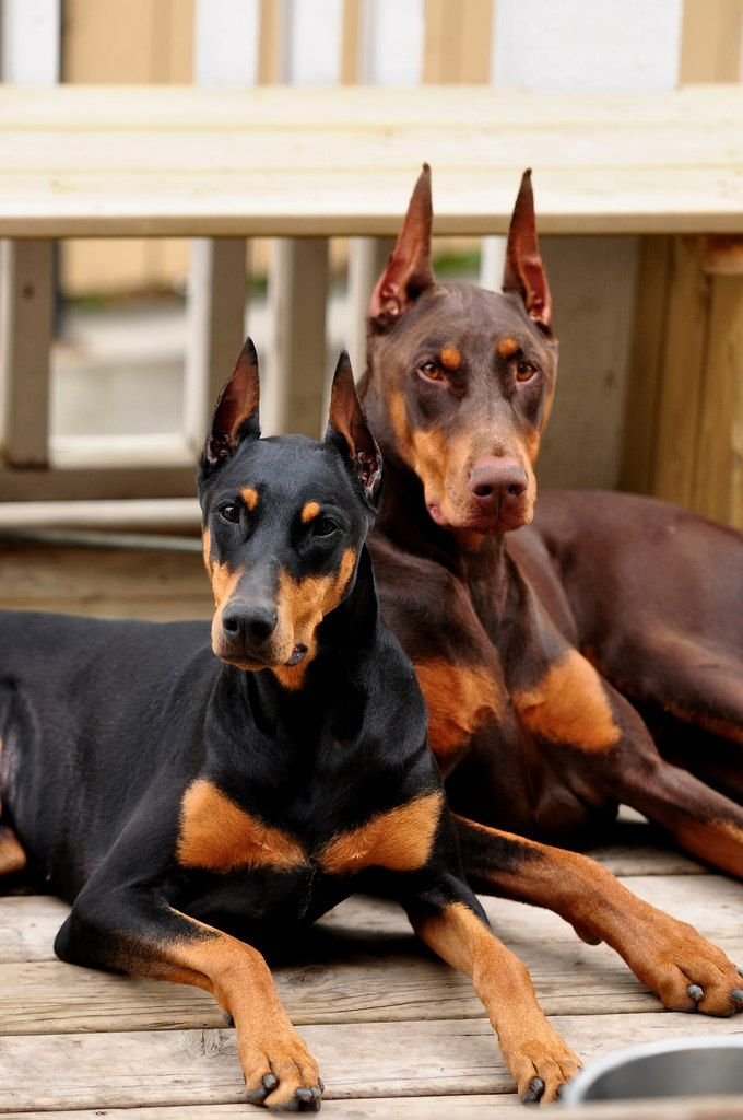 Pin By Debbie Crowe On Dog S Doberman Dogs Doberman Puppy