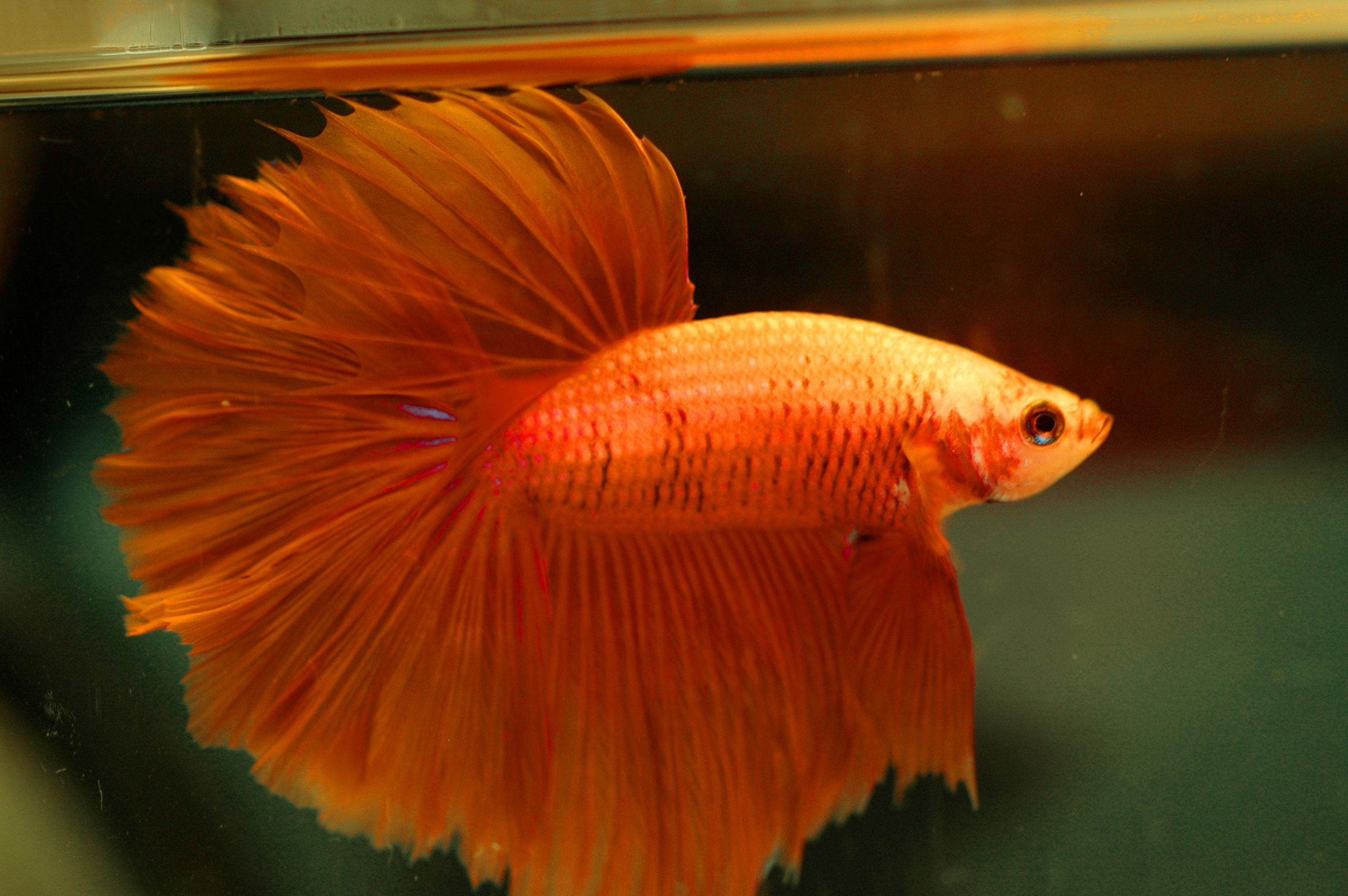 15+ List Different Types of Betta Fish with Pictures | Betta, Betta ...