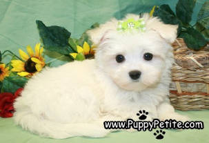 Pups For Sale Teacup Puppies Maltese Maltese Puppy Puppies For