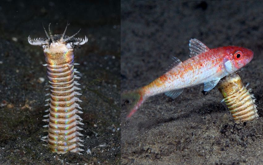 The Eunice aphroditois, or more commonly referred to as the bobbit worm, is an aquatic predatory polychaete worm dwelling at the ocean floor.  Their average length is one meter, but specimens measuring a gargantuan three meters have been discovered in the waters of the Iberian Peninsula, Japan, and Australia.
