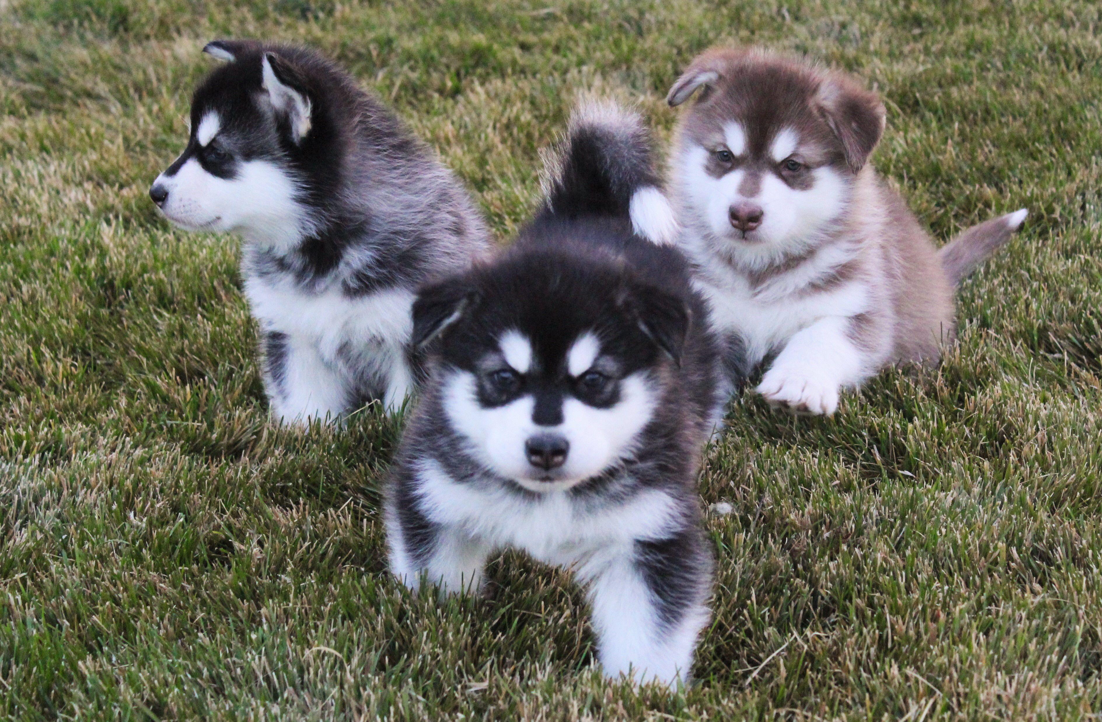 Three Malamute Puppies Alaskan Malamute Malamute Siberian Dog