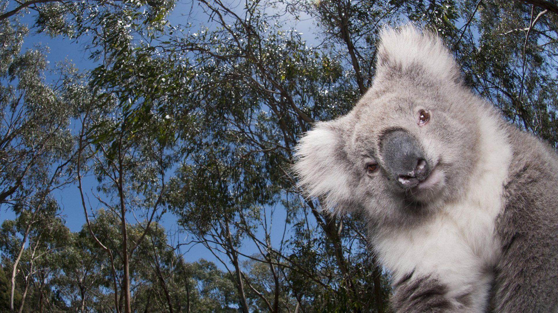 Koala Wallpaper 1920 X 1080 Via Classy Bro Cool Wallpapers