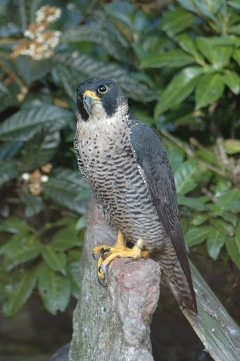 El Ser Vivo Mas Veloz Del Mundo Es El Halcón Peregrino Del Tamaño De Un Cuervo 35 58 Cm Y 220 750 G En Vu Birds Of Prey Peregrine Falcon Spirit Animal Totem