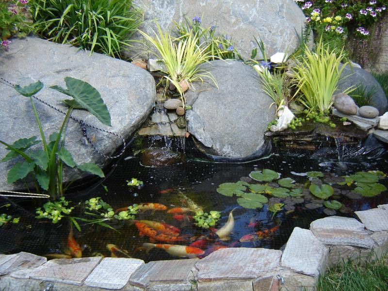 Water lilies lotus louisiana iris bog plants tropical for Hardiest pond fish