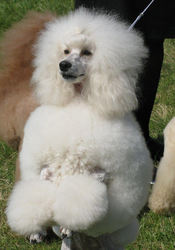 The World S Best Photos Of Poodles And Showdog Flickr Hive  An Adorable White Standard Poodle Puppy Poodlepuppy Cute  Amazon Com Cute Adorable Poodle Maltipoo Puffy Poofy Puppy  Small White Dog Breeds Top 10 With Pictures  15 Poodles With Better Hairstyles Than You  Poodle Names 250 Perfect Ideas For Naming Your Poodle  #pet #dog