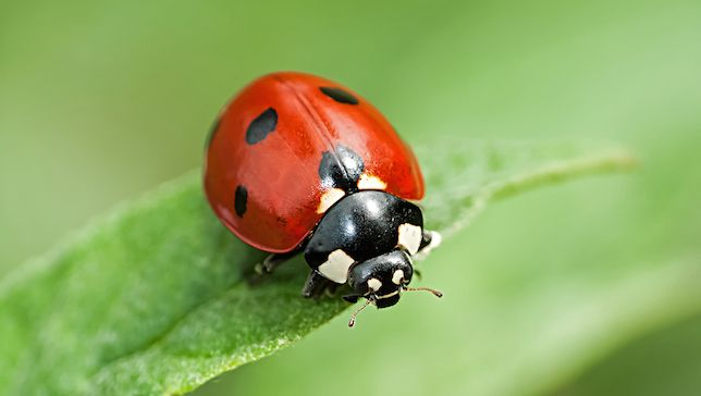 How To Attract Ladybugs To Your Garden Garden Pests Garden