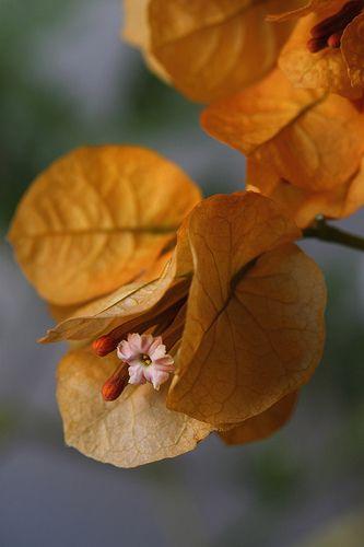 Buganvilla | mariluz picado garrido | Flickr